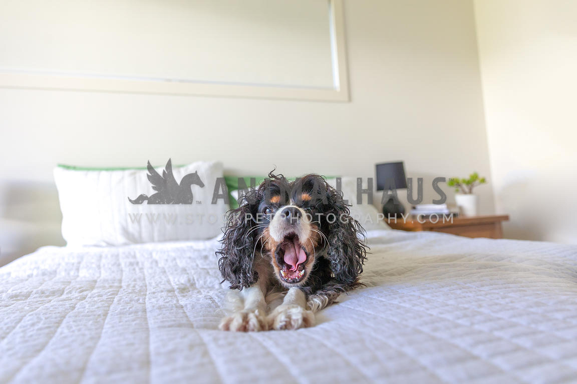Dog yawning on a bed in the bedroom