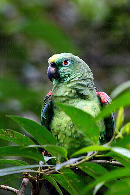 Blue fronted Amazon ( Amazona aestiva aestiva )