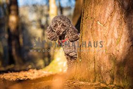 Miniature Poodle looking out from behind tree