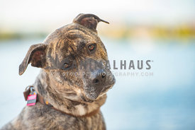 close up of brindle pit bull mix with head tilt looking at camera
