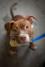 face of pitbull puppy with big eyes