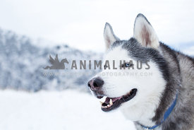 smiling siberian husky dog standing in front of snowy mountain