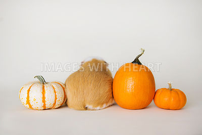 guinea pig from behind with pumpkin and gourds