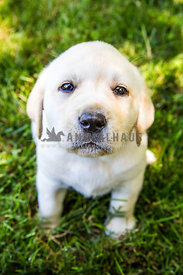 yellow labrador retreiver puppy sitting on lawn