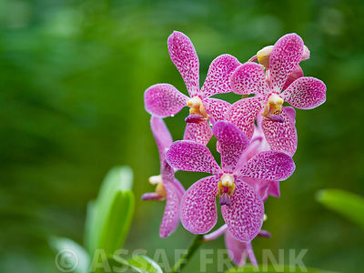 Malaysia, Borneo, Close-up of pink dapple orchid flower