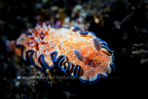 Nudibranche - Photo sous-marine