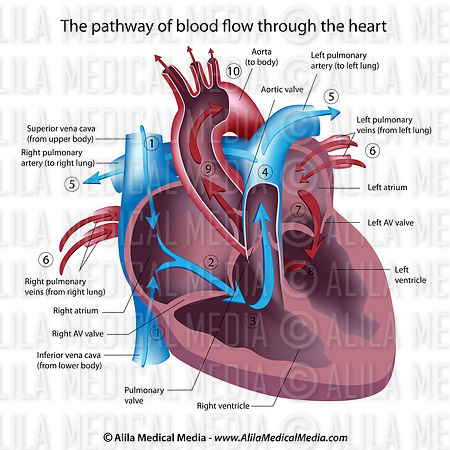 Blood flow through the heart, labeled diagram.