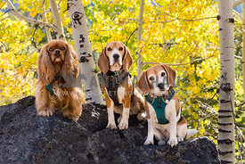 Three small dogs on a hike