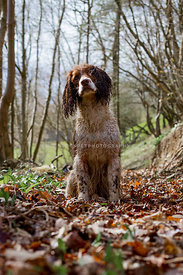 spaniel dog sitting  in woods in fall