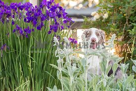 smiling dog sitting in flower bed
