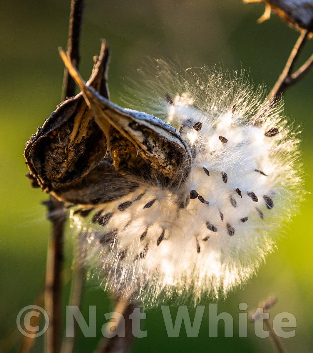 CF_milkweed_and_flowers_Oct_12_2018-October_12_2018-NAT_WHITE-1_1600_sec_at_f_2.8