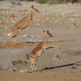 Two female Black-Faced Impala (Aepyceros melampus petersi) leaping in synchrony, Etosha National Park, Namibia