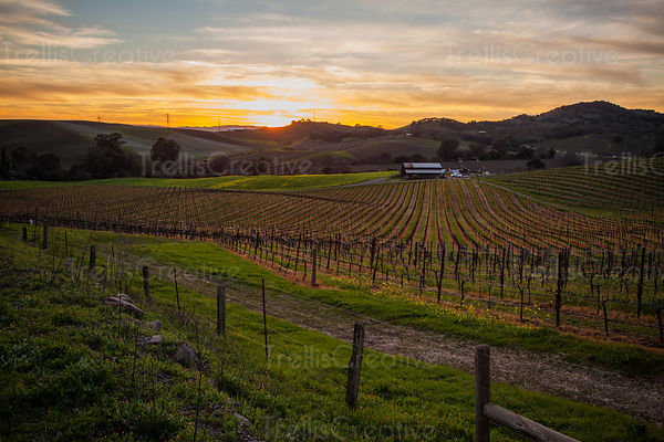 Carneros region vineyard in the setting sun with the winter sky