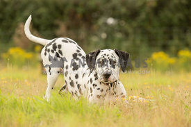 Dalmatian puppy in play bow pose amongst yellow meadow flowers