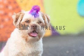 close up of shih tzu with rainbow colored mohawk
