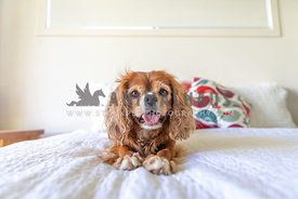 small happy dog on a bed
