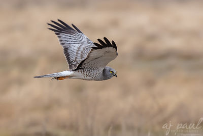 Hovering Harrier