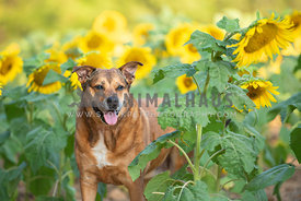 close up of older brown pitbull mix standing in tall sunflowers