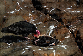 Turkey vulture (Cathartes aura) feeding on dead Guanay cormorant (Phalacrocorax bougainvillii),  showing nictating membrane o...
