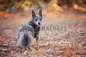 Small gray dog looks over its shoulder on a fall day