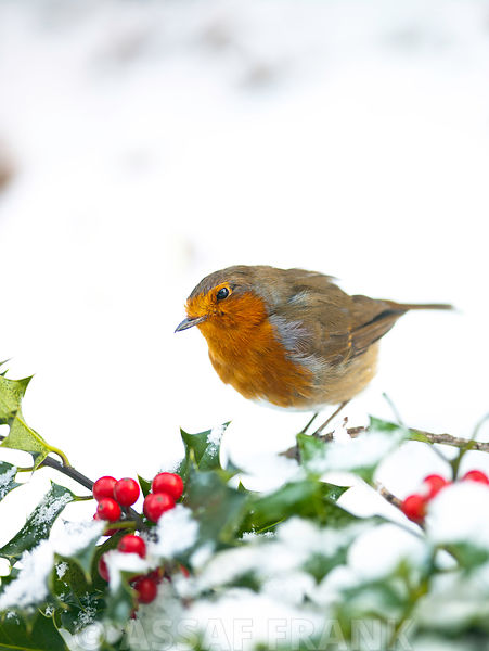Robin in snow with holly and berries