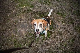 happy beagle on leash hiking