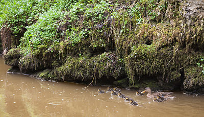 Duck with chicks in Chee Dale