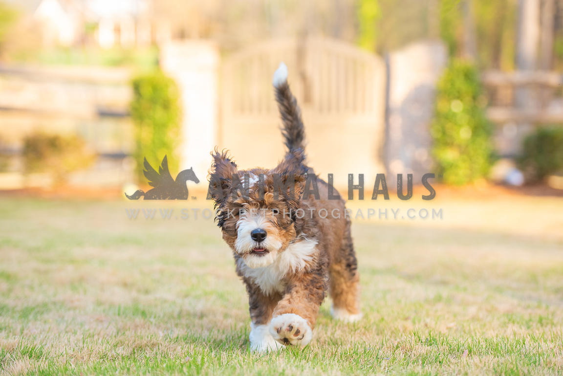 young bernadoodle puppy running through the grass