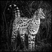 8555-Biodiv-Serval_in_the_bush_Kenya_2006_Laurent_Baheux_copie