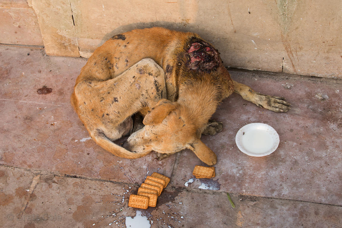 Injured Pariah street dog with milk and biscuits given to it by tourists, Prayag Ghat, Varanasi, India. I got the dog to a ne...
