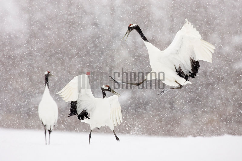 Red Crowned Cranes Displaying, Tsurui, Hokkaido, Japan