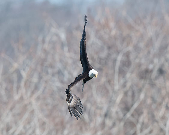 Bald Eagle in a Tight Turn