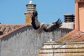 White Stork Ciconia ciconia arriving with nest material at nest  Alfaro Spain