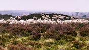 Flock of sheep grazing on a barrow