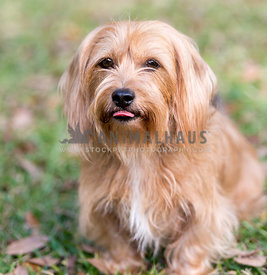 brown scruffy dog sticking out tongue