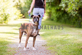 boxer on walk with woman