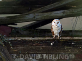 Barn Owl tyto alba North Norfolk february