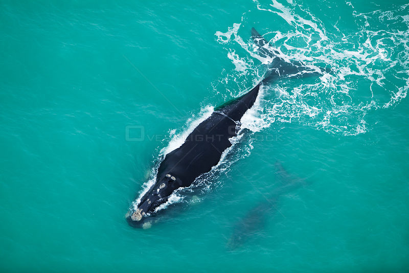 Aerial photograph of Southern Right Whale (Eubalaena australis) near Cape Agulhas, South Africa,  Western Cape Province, Indi...