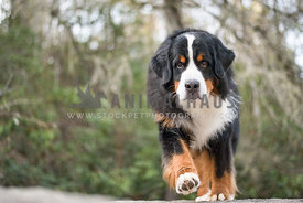 bernese mountain dog walking in woods close up low angle