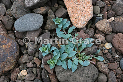 Oysterplant (Mertensia maritima) with flower buds, Stenness, Northmavine, Shetland