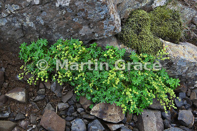 Alpine Lady's Mantle (Alchemilla alpina), West Fjords, Iceland