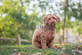 apricot cockapoo sitting in grass backlighting bokeh