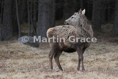 Red Deer stag (Cervus elaphus) after shedding its antlers, April 3, on the edge of forestry, Sherramore Forest, Badenoch & St...