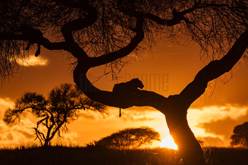 A Lion Sits in an Acacia Tree at Sunset