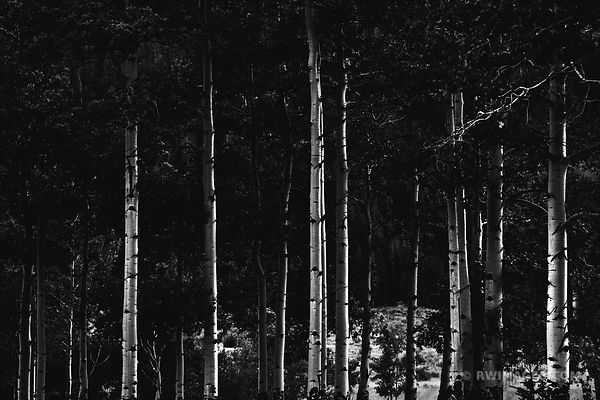 EVENING ASPENS ENDO VALLEY ROCKY MOUNTAIN NATIONAL PARK COLORADO BLACK AND WHITE
