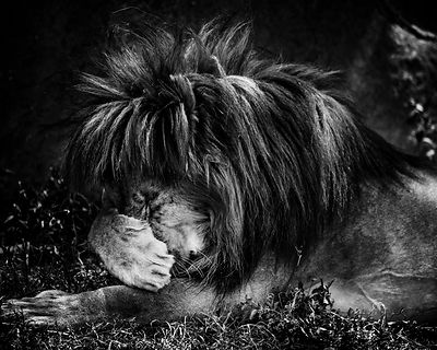 4863-Lion_hidding_its_face_Laurent_Baheux