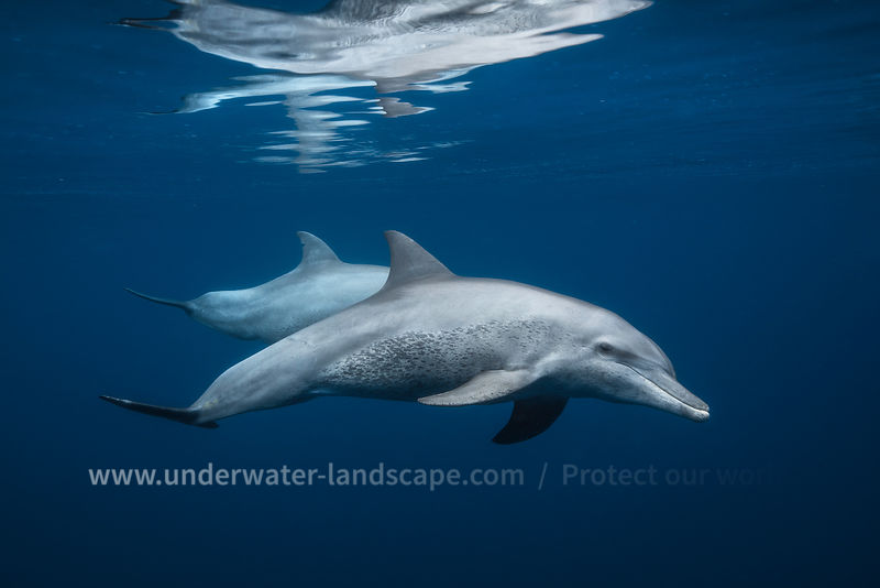 Little dolphin - Underwater photography