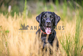 Black Labrador sitting in the Grass waiting