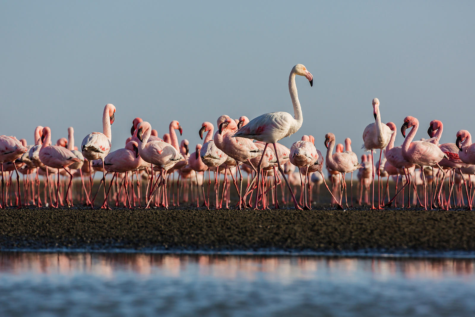 Greater and Lesser Flamingos in Walvis Bay Lagoon