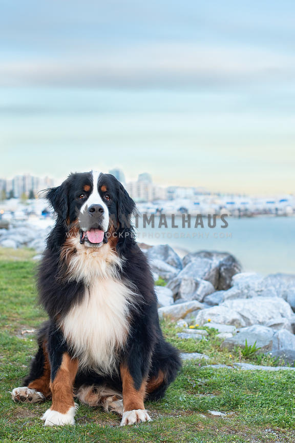 bernese mountain dog sitting in front of water and buildings in the distance